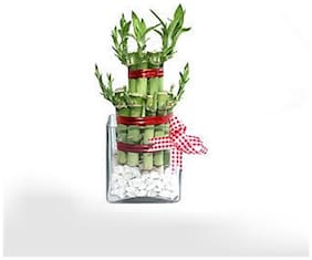 2 Layer Lucky Bamboo Plant With Square Bowl