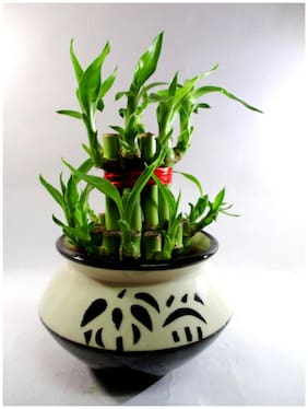 2 Layer Lucky Bamboo Plants With Ceramic Pot