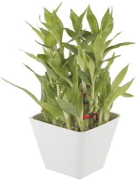 Ferns N Petals 3 layer lucky bamboo plant in white pot