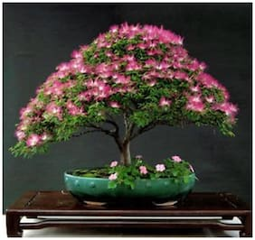 Albizia Julibrissin -Silk Plant Bonsai Suitable Tree Seeds