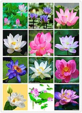 Aquatic Flower Seeds : Lotus Flower Seeds ( Mixed Varieties Seeds 15 Seeds- House Garden Garden [Home Garden Seeds Eco Pack] Plant Seeds By Creative Farmer