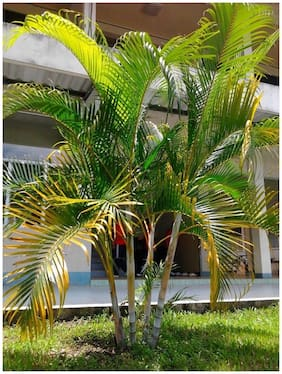 ARECA PALM VERY POPULAR EASY TO GROW A CHARMING Tree Seeds Sold By- V Square Retail