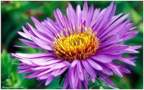 Aster Flower Seeds (Mixed Colors)   200 seeds   Pack of 2