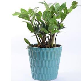 Blueish green ZZ Plant