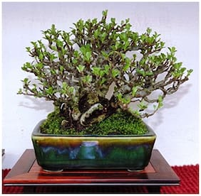 Bonsai Plant Malabar Rosewood French Bonsai Tree Seeds For Indian Climate-By Creative Farmer
