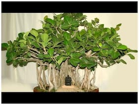 Bonsai Suitable Indoor Plant Seeds Banyan Tree(Alai) Tree Native To The Indian Subcontinent Seeds