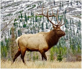 BULL ELK #1 COMPUTER MOUSE PAD OR HOT PAD 7 X 9