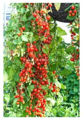 Cherry Tomato Hybrid M Vegetables Seeds - Pack of Above 50 Seeds