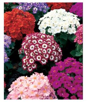 Cineraria Flowers Fast Germination Seeds - Pack of 50 Seeds