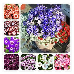 Cineraria Mixed Colour Flowers Exotic Seeds for Home Garden - Pack of 50 Seeds