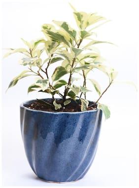 Cobalt Ficus Starlight