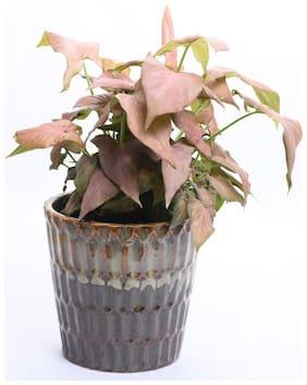Cocoa Pink syngonium