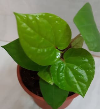 Connifer Betel Leaf Live Plant;Maghai Paan plant with 4 inch Pot