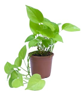 Connifer Green Money Plant (Pot included)