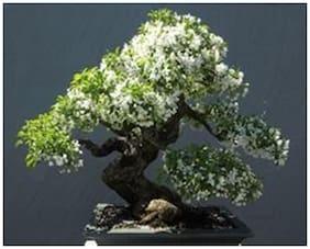 Creative Farmerbonsai Plant Water Jasmine Bonsai Tree Seeds For Home Depot