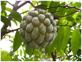 Custard Apple Sugar Apple Annona Squamosa Fruit Seeds Sold By- V Square Retail