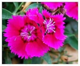 Dianthus Flower Pink Fast Germination Seeds