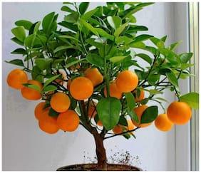Edible Fruit Bonsai Citrus Orange Fresh Exotic Fruit Seeds Sold By- V Square Retail