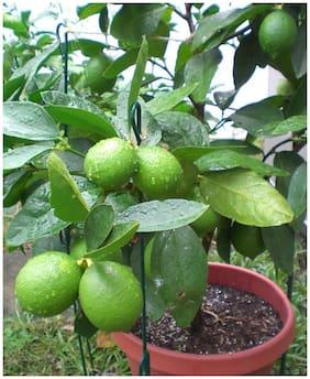 Exotic Citrus Edible Fruit Lime Green Lemon Fruit Seeds Sold By- V Square Retail