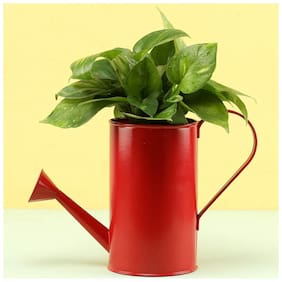 Ferns N Petals Money Plant In Red Watering Can Pot