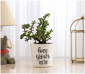 Ferns N Petals Jade Plant Love Grows Here In Love Special with White color Ceramic Pot
