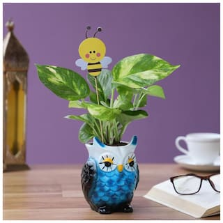 Ferns N Petals Money Plant in Blue Owl Ceramic Pot With Honey Bee Tag