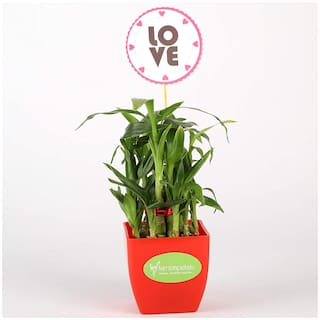 Ferns N Petals 2 Layer Bamboo Plant In Red Plastic Pot With Love Tag