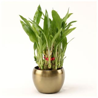 Ferns N Petals Two Layer Bamboo Plant In Copper Brass Pot