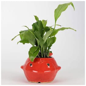 Ferns N Petals Peace Lily Plant Red Fish Ceramic Pot