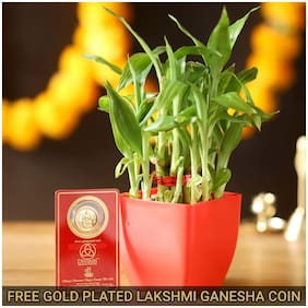 Ferns N Petals 2 Layer Lucky Bamboo With Free Gold Plated Coin|Diwali | Diwali Gift |Bhaidooj|New Year