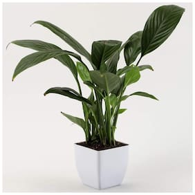 Ferns N Petals Peace Lily Plant In White Plastic Pot