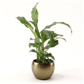 Ferns N Petals Peace Lily Plant In Copper Brass Pot