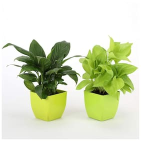 Ferns N Petals Combo Of Good Luck Peace Lily Plant And Golden Money Plant In Plastic Pot