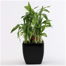 Ferns N Petals 2 Layer Bamboo Plant In Black Plastic Pot