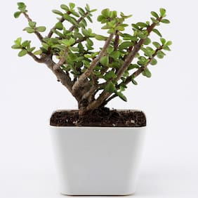 Ferns N Petals Jade Plant In White Plastic Pot