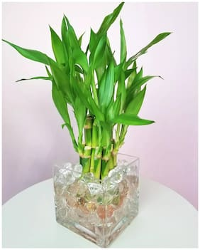 Flare Seeds Sweet Bamboo Plant Seeds - 50 Seeds