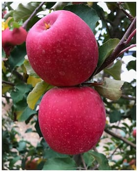 Flare Seeds Flare Seeds Imported Apple Plant Fruit Seeds - Pack Of 15 Premium Seeds