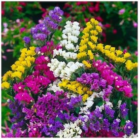 Flower Seeds : Statice Exotic Seeds For Terrace Gardening Garden [Home Garden Seeds Eco Pack] Plant Seeds By Creative Farmer
