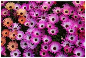 Flower Seeds : Mesembryanthemum Suitable For Indian Climate Garden [Home Garden Seeds Eco Pack] Plant Seeds By Creative Farmer