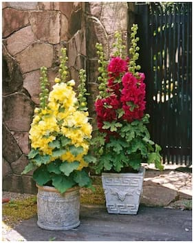 Flower Seeds : Double Hollyhock Pot Variety Flower Seeds Hanging Semi Indoor Suitable Garden [Home Garden Seeds Eco Pack] Plant Seeds By Creative Farmer
