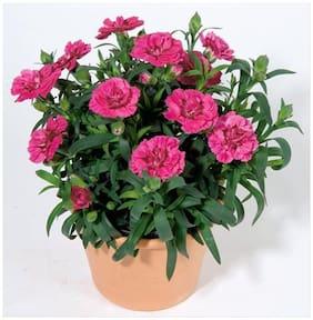 Flower Seeds : Carnation Mix (Dianthus Caryophilous Chaubaud) Seeds For Garden Plants - Garden Flower Seeds Pack by Creative Farmer