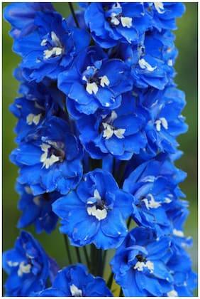 Flower Seeds : Delphinium Blue Seeds Online Garden [Home Garden Seeds Eco Pack] Plant Seeds By Creative Farmer