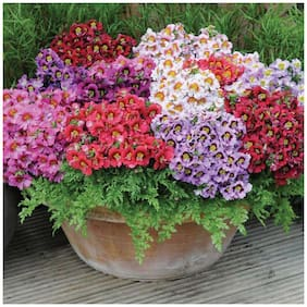 Flower Seeds : Schizanthus Best Mix Orchid Like Flower Plant Seeds Flower Seeds Flower Plant Seeds Home Garden Garden [Home Garden Seeds Eco Pack] Plant Seeds By Creative Farmer