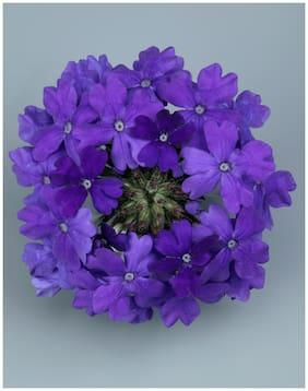Flower Seeds : Verbena Dwarf Blue Easily Blooming Flowers Garden [Home Garden Seeds Eco Pack] Plant Seeds By Creative Farmer