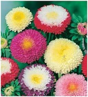 Flower Seeds : Aster Ducess Formula Mixed Flower Seeds - Kitchen Garden Pack by Creative Farmer