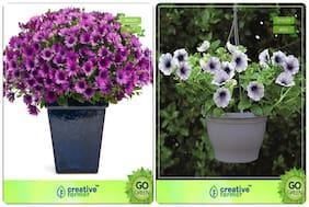 Flower Seeds : Seeds For Garden Combo Osteopermum
