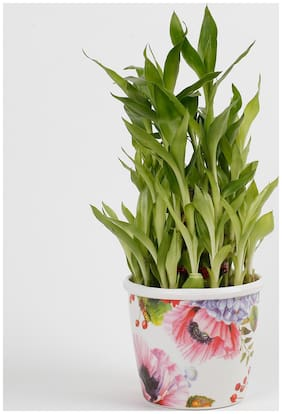 Ferns N Petals 3 Layer Bamboo Plant In Stoneware Floral Pot