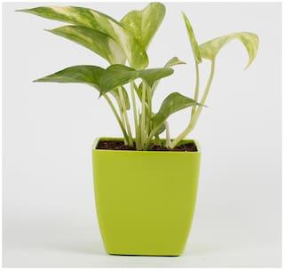 Ferns N Petals Money Plant In Imported Plastic Pot