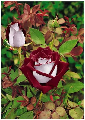 Fresh Perennial Exotic Blood Red and White Rare Rose Flower Seeds Sold By- V Square Retail