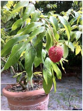 Fruit Seeds Dwarf Lychee Tree Seeds Fruit Seeds Fruit Plant Seeds Seeds
